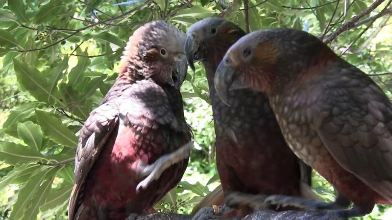 Funny Wild Parrots - Kaka nut wars