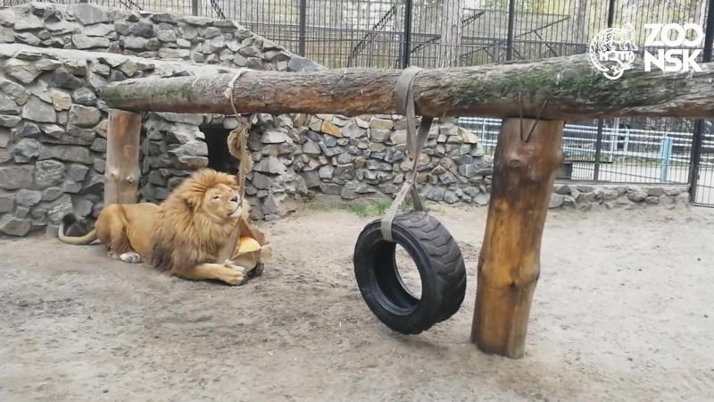 Сэм играет. Новосибирский зоопарк имени Р.А. Шило, 5 рктября