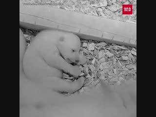 Белые медведи в зоопарке Берлина