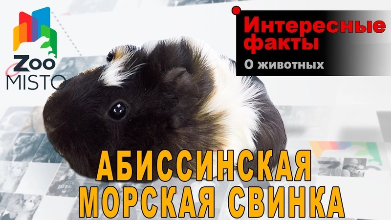 Абиссинская Морская Свинка - Интересные факты о породе