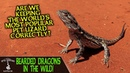 BEARDED DRAGONS IN THE WILD! (are we keeping them correctly?)