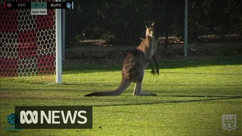 Kangaroo invades field at Australian soccer match