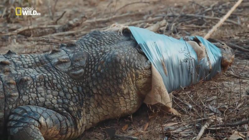 Зеленый ковбой из Австралии. [s03 e02] Поймать крокодила (2018) [P1. Велес, С.Войнич] 1.07 ts