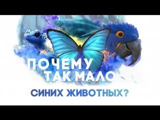 Почему так мало синих животных? [It's Okay To Be Smart]