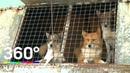 Шалайки в законе: новую породу собак зарегистрировали в России