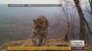 В приморском парке Земля леопарда стало еще больше самых редких крупных кошек планеты