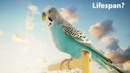 What is the average lifespan of a Budgie