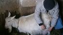 Стрижка вымени козы перед окотом