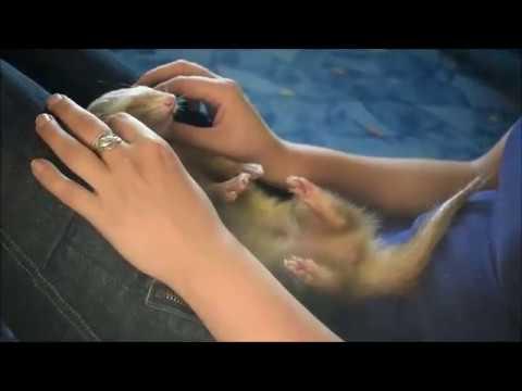 Аврора Спящий на руках хорёк