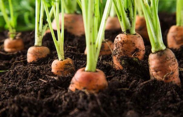 Нужно ли прорастить семена моркови перед посадкой Как это сделать быстро