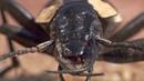 ВЕРСУС! ЖУЖЕЛИЦА - убийца муравьев и лягушек. Жужелица против мангуста