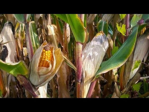 Mexicanos desafían el plan de Monsanto de cultivar maíz transgénico