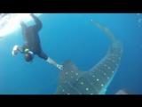 Куба. 2010 год. Сады королевы. Китовая акула