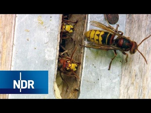 Nichts für schwache Nerven: Umzugshelfer für Hornissen | NaturNah | NDR Doku