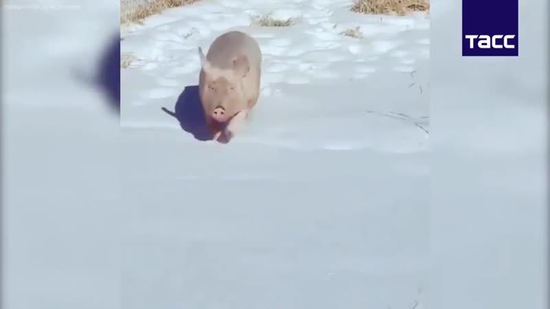 Снежные псы и не только
