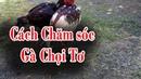 Gà chọi Cách nuôi gà chọi tơ của sư kê chuyên nghiệp om vần và chăm sóc gà chọi tơ thành gà chiến