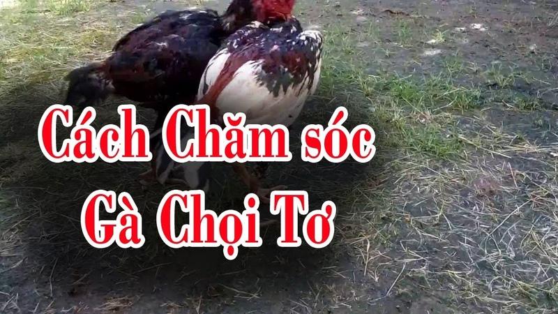 Gà chọi: Cách nuôi gà chọi tơ của sư kê chuyên nghiệp, om vần và chăm sóc gà chọi tơ thành gà chiến