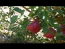 Яблоневые сады близ с. Карби, Армения
