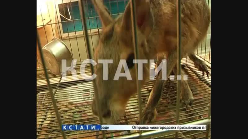 В Заволжье в продажу поступили кенгуру