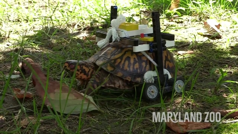 Maryland Zoo Builds LEGO Wheelchair For Injured Turtle