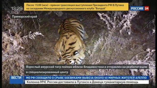 Новости на Россия 24 • В Приморье голодный тигр в поисках еды пришел на ферму