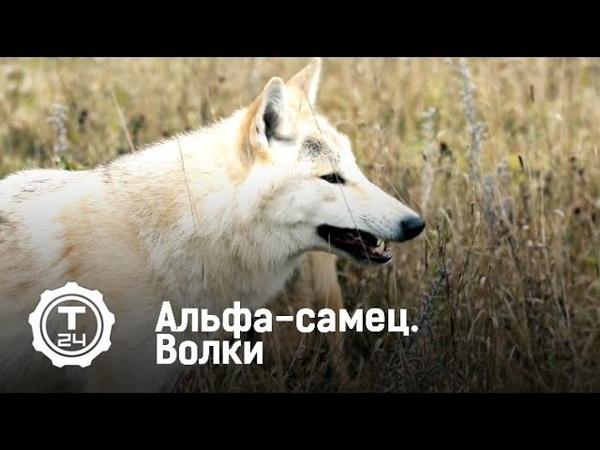 Альфа-самец. Волки | Т24
