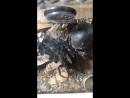 Линька паука птицееда Lasiodora Parahybana
