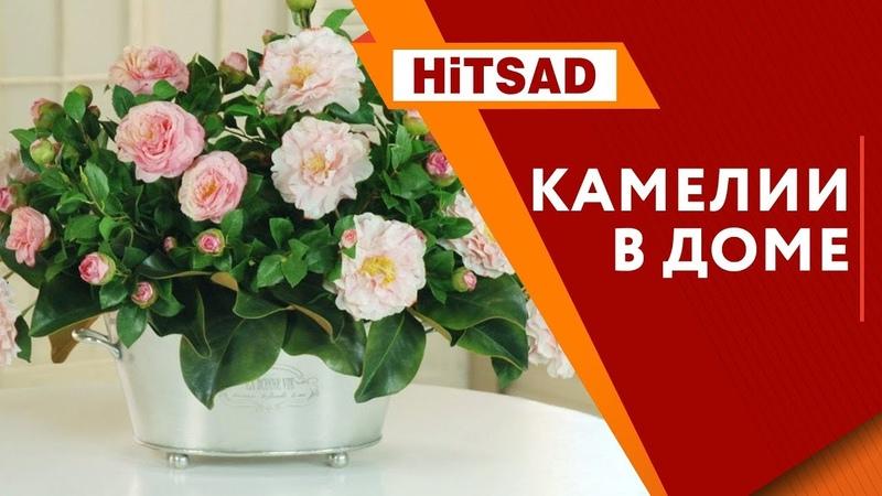 Камелия Уход | Как вырастить домашние цветы 🌺 Интернет магазин Хитсад