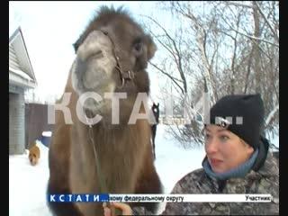 Верблюды, ламы и северные олени разгуливают по нижегородским улицам