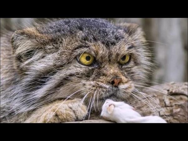 Самые злопамятные и своенравные породы кошек Почему коты злятся
