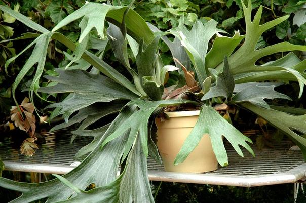 Платицериум - «рогатый» папоротник Выглядит как крупный качан капусты, из которого растут листья, похожие на оленьи рога. Никак не похож на папоротник. Хотя является им. Растение-китч! За что и