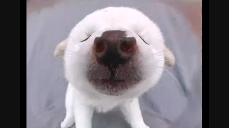 Funny Birthday Song (Puff the Furball Puppy)