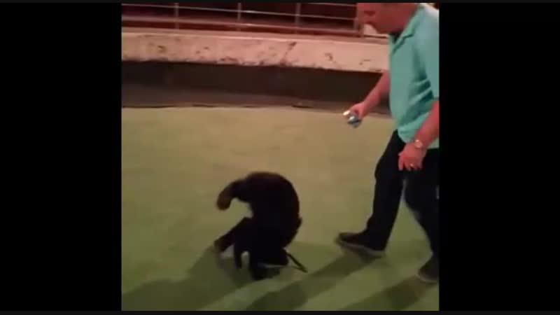 Как медвежонок Гек учился ездить на гироскутере