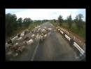 Стадо коз на дороге и Камаз