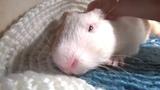 Морская свинка зевает)Guinea pig yawning!