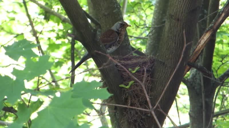 Дрозд свил гнездо прямо напротив окна!