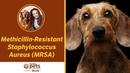 Метициллинрезистентный золотистый стафилококк Methicillin Resistant Staphylococcus Aureus MRSA