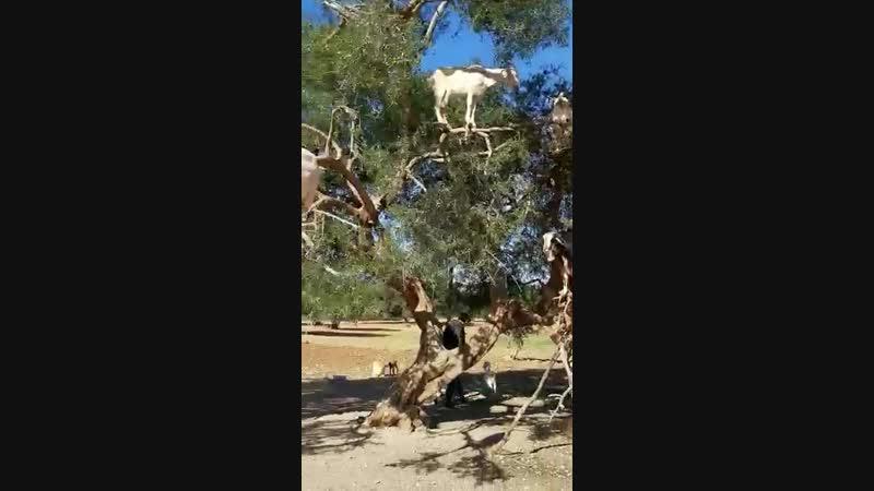 козлы прилетели