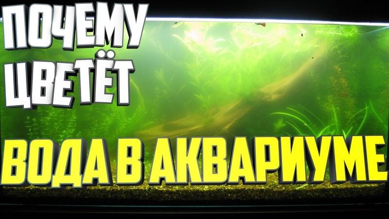 Почему цветет вода в аквариуме?