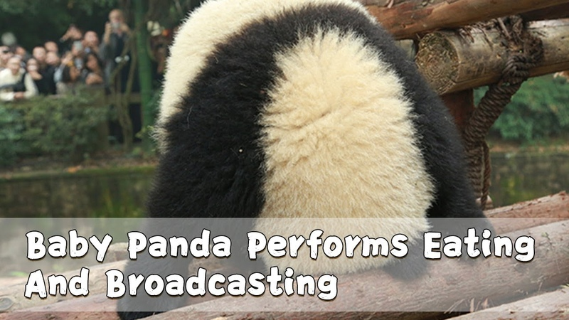 Baby Panda Performs Eating And Broadcasting | iPanda