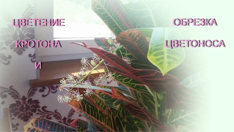 Цветение кротона и обрезка цветоноса