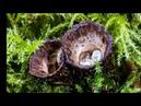 Интересные и редкие грибы Бокальчики полосатые