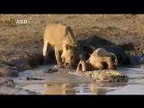 Детёныш нильского крокодила задоминировал над молодым львом