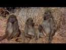 обезьяны и вода the gods must be crasy 2