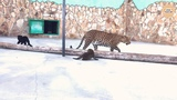 Крошка леопард запретил видеосъёмку! Тайган. Крым. Little Leopard has banned videotaping!