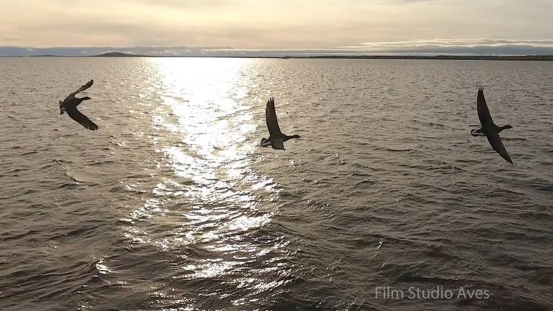 Чёрные казарки над Белым морем. Карелия