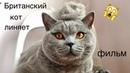Как вычесать британского кота / Смешной фильм с котом/ British cat - shot film