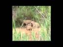 Львы против Леопарда