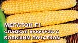 МЕГАТОН F1 - КУКУРУЗА №1 С САМЫМ БОЛЬШИМ ПОЧАТКОМ от HM-CLAUSE