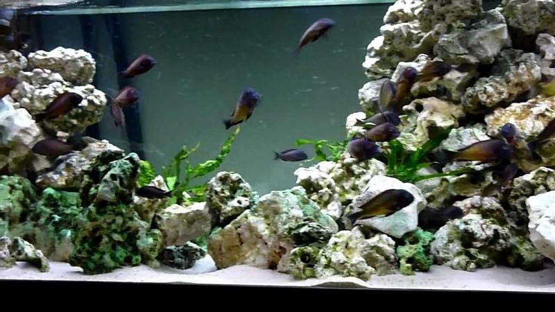 Tropheus Moorii Ilangi Kasaba Bay Fish Tank Aquarium